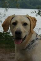Bianca, Labrador de 6 mois.