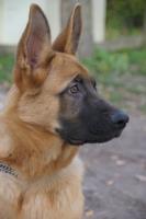 Jack, berger allemand de 5 mois