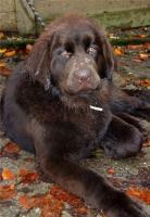 Lola, Terre Neuve de 7 mois et demi.